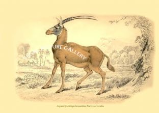 Algazel (Antilope besoartria) Native of Arabia
